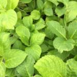 hydrangea-macrophylla-geoffrey-chadbund