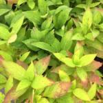hydrangea-serrata-grayswood