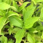hydrangea-macrophylla-isu-no-hana