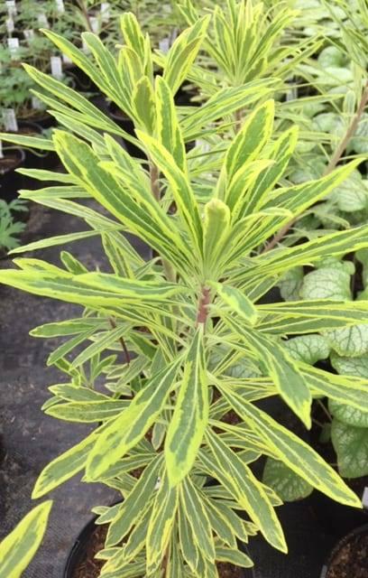 Penlan Perennials Nursery: Euphorbia X Martinii 'Ascot Rainbow'